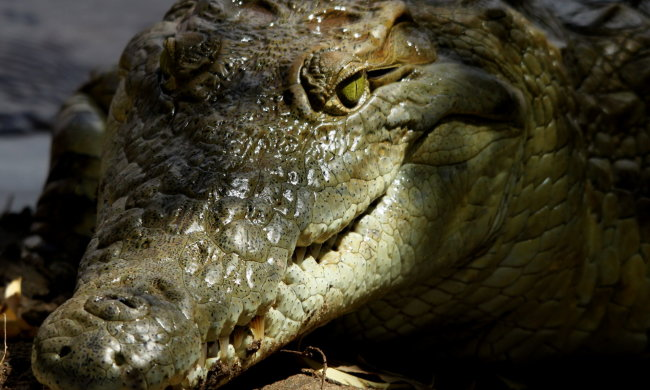 Гигантский крокодил заполз в храм и напугал людей. Но его не убили, а сделали божеством